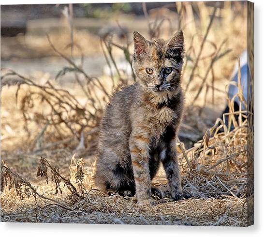 Lone Feral Kitten Canvas Print