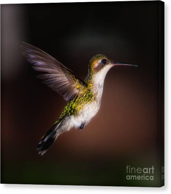 Lone Hummingbird Canvas Print