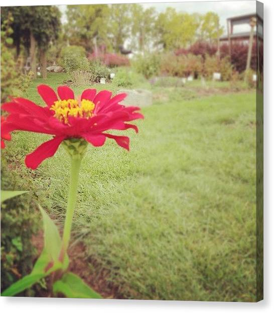 Winery Canvas Print - Lone Ranger. #garden #flower #daisy by Jenna Luehrsen