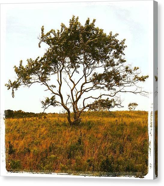 Marshes Canvas Print - Lone Tree. Block Island by Cathy Marsh Photography