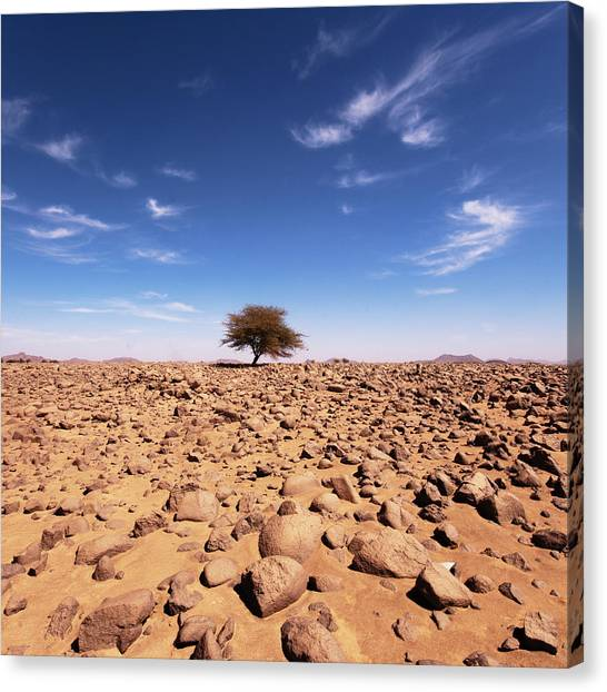 Sahara Desert Canvas Print - Lonely Tree At Sahara Desert by Taghit
