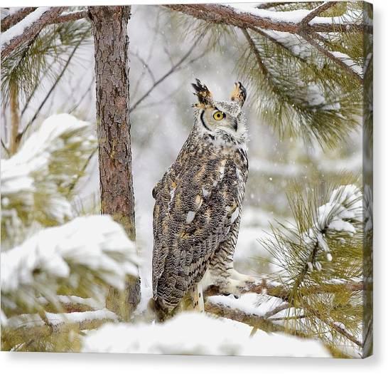 Minnesota Wild Canvas Print - Long Eared Owl by John Pitcher