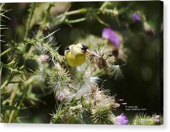 Look At Me - Lesser Goldfinch Canvas Print