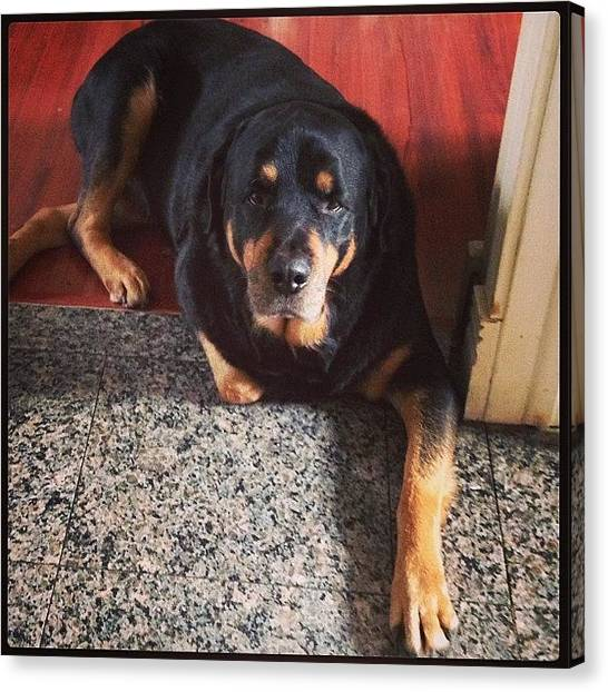 Rottweilers Canvas Print - Look At That Leg Pose #rottie by Tiffany Yiu