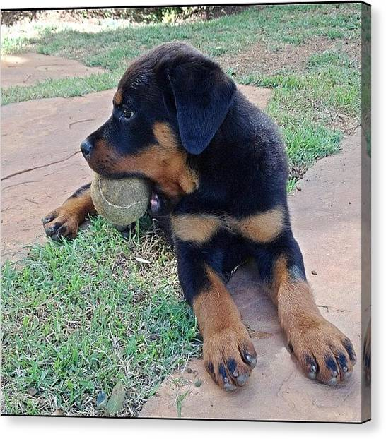 Rottweilers Canvas Print - Look Who Loves A Tennis Ball Too!! Baby by Adriana Guimaraes