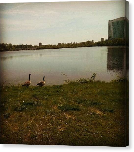 Geese Canvas Print - Looking At The View  by Kev Thibault