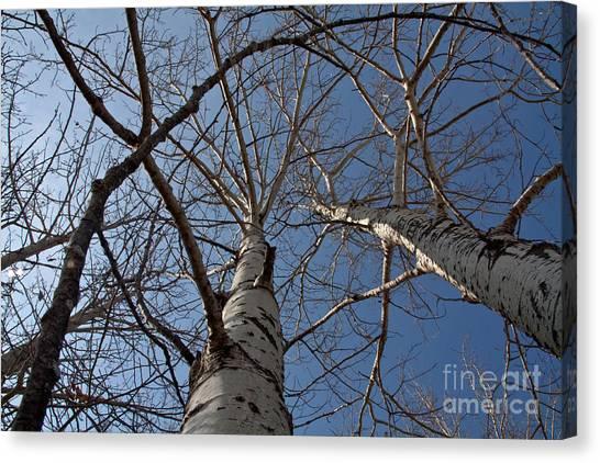 Looking Up Canvas Print by Rachel Duchesne