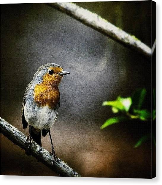 Robins Canvas Print - Lookout by Manuel M Almeida