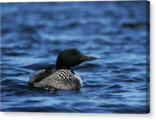 Loon And New Born Chick Canvas Print