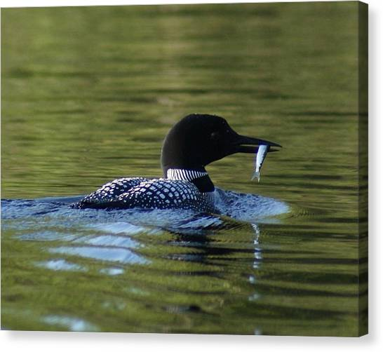 Loon With Minnow Canvas Print