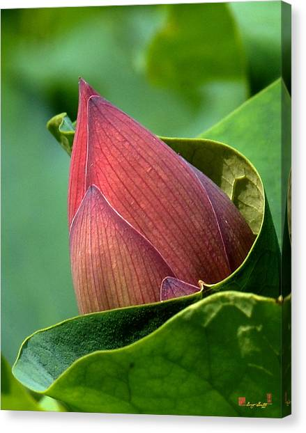 Lotus Bud--bud In A Blanket Dl049 Canvas Print