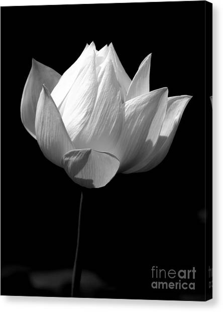 Lotus Bw Canvas Print