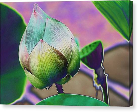 Lotus Dreaming 7 Canvas Print