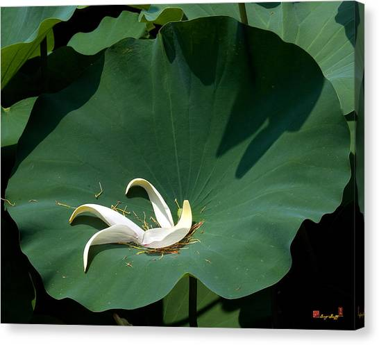 Lotus Leaf--castoff IIi Dl060 Canvas Print