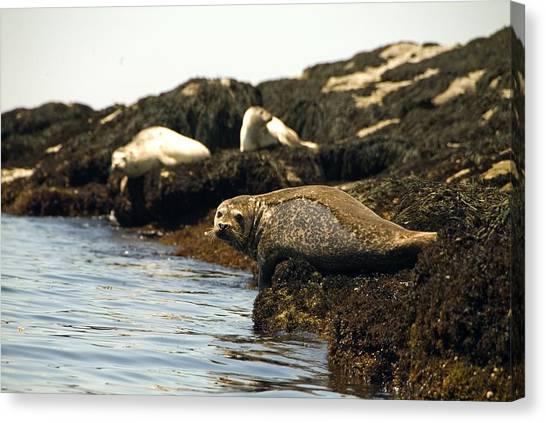 Lounging Seals Canvas Print