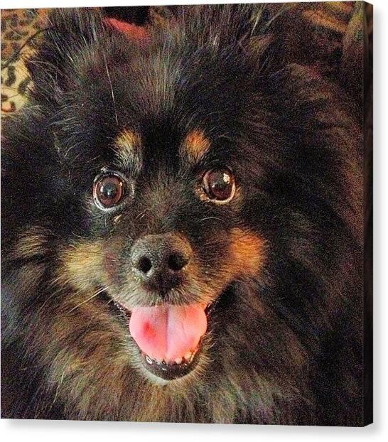 Pomeranians Canvas Print - Love Baby Boy #dogsofinstagram Really A by Misty Long