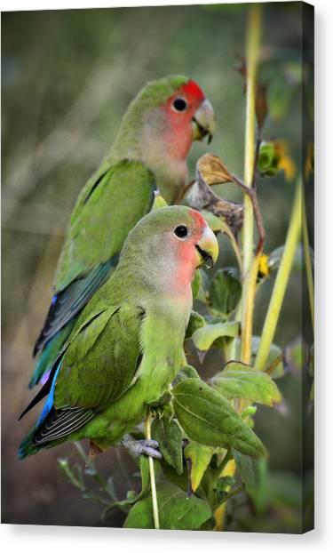 Lovebird Canvas Print - Lovebird Couple  by Saija  Lehtonen