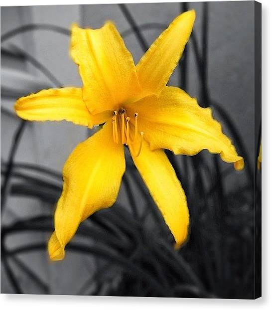 Lilies Canvas Print - #lovely But #lone #lily by Manan Shah