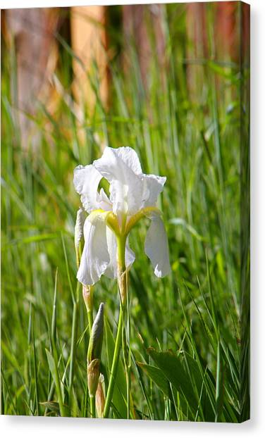 Lovely White Iris In Field Of Grass Canvas Print