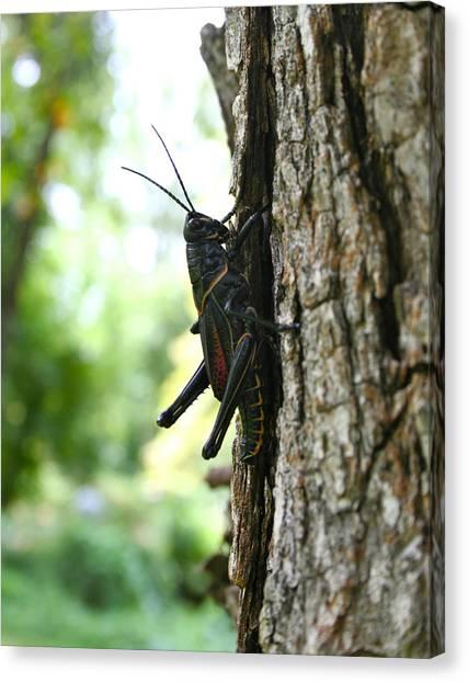 Lubber Grasshopper Canvas Print