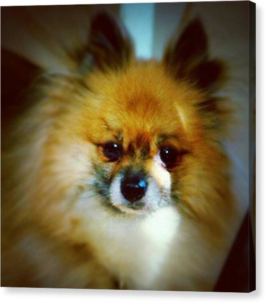Pomeranians Canvas Print - Lucky :) #dogs #pomeranian by Keikei Kelly