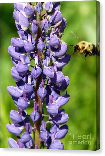 Lupine And Bee Canvas Print by Christine Stack