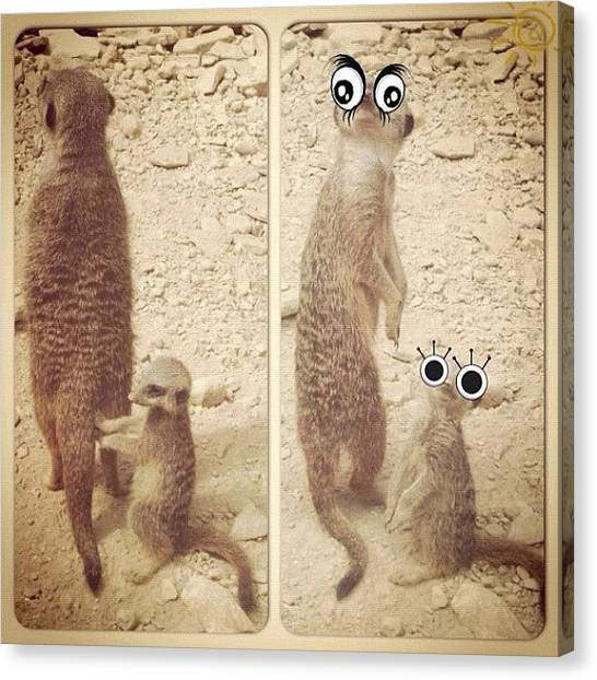 Meerkats Canvas Print - #m2instachallenge 14 #duplicate Posted by Charlotte Lyons