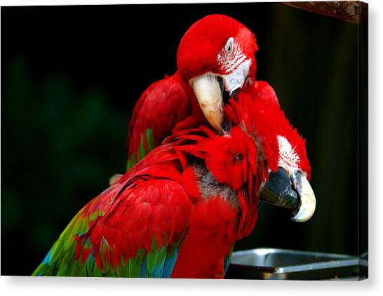 Lovebirds Canvas Print - Macaws by Paul Ge
