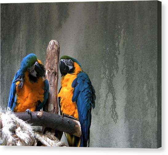 Maccaw Parrots Canvas Print by Kim French