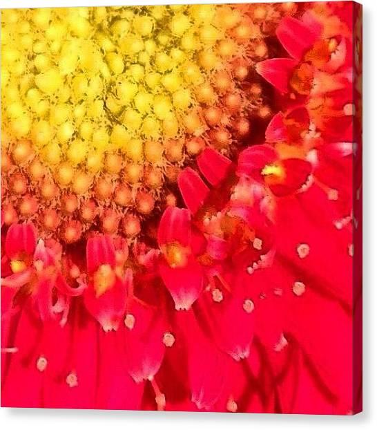 Floral Canvas Print - Macro Of Gerbera Daisy  by Irina Moskalev