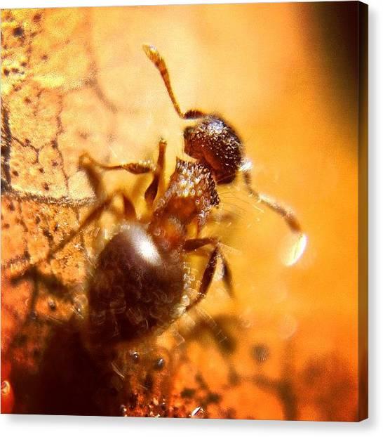 Ants Canvas Print - #macrogardener #macroworld #macro by Sooonism Heng