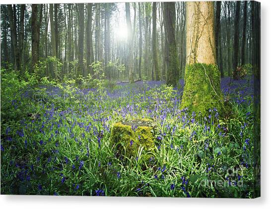 Magical Bluebell Forest In Kildare Ireland Canvas Print by Catherine MacBride