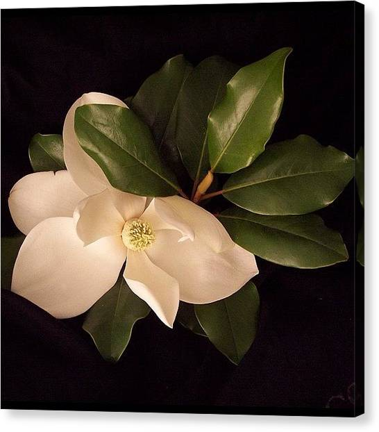 White Canvas Print - Magnolia 2 by Darice Machel McGuire