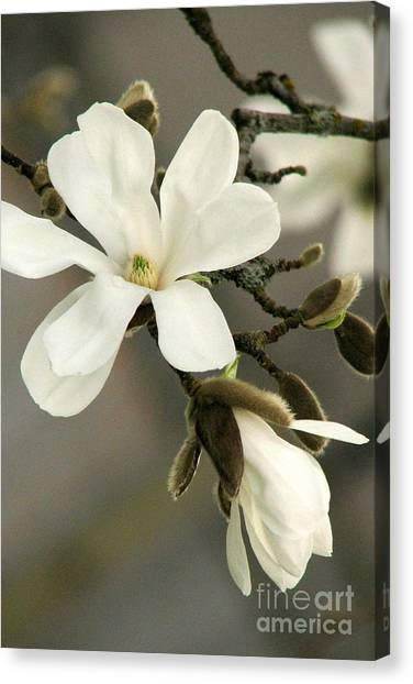 Magnolia Canvas Print by Frank Townsley