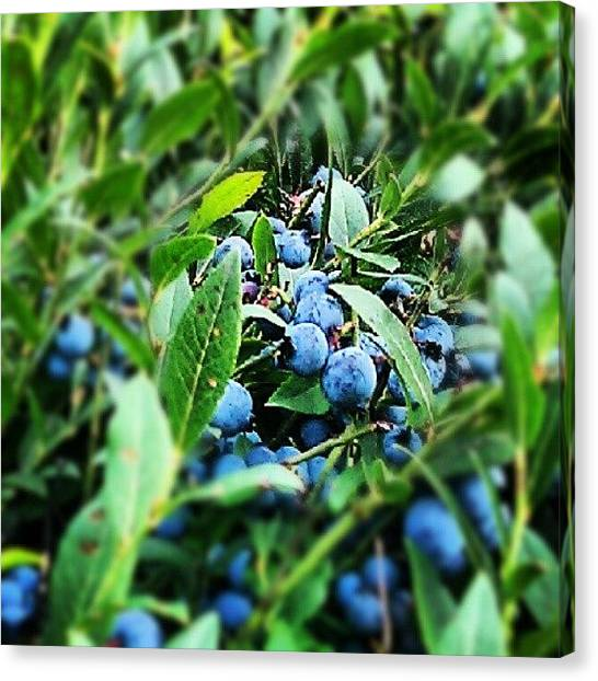Maine Canvas Print - Maine Wild Blueberries by Chuck Caldwell