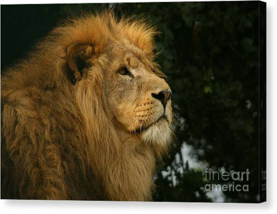 Majestic Lion Canvas Print by Carol Wright