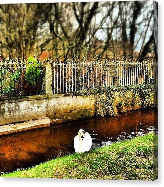 Foul Canvas Print - Majestic Loner! #swan #bird #wild #foul by Robert Campbell