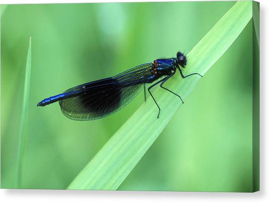 Demoiselles Canvas Print - Male Banded Damselfly by Dr Keith Wheeler