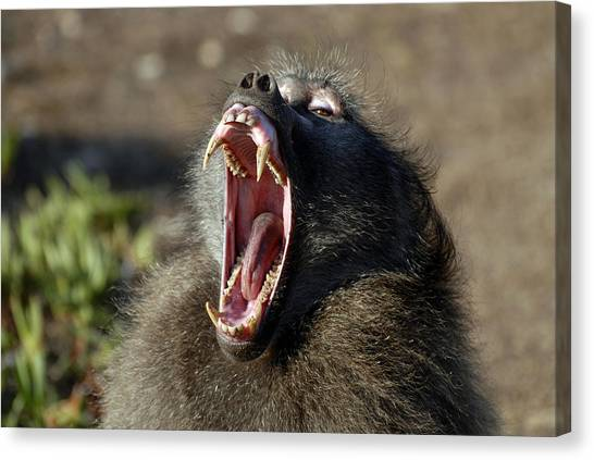 Male Chacma Baboon Canvas Print by Peter Chadwick