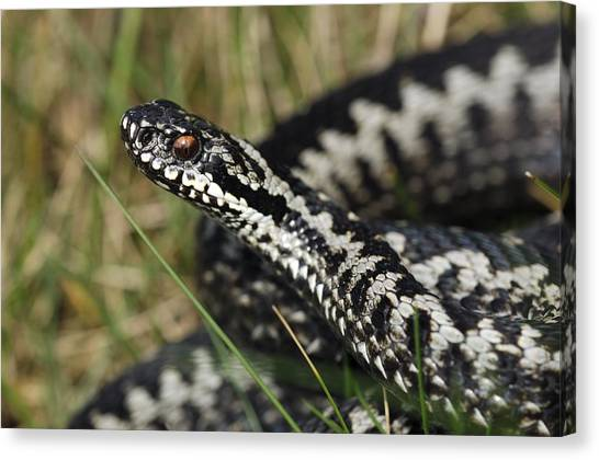 Male Common European Adder Canvas Print by Colin Varndell
