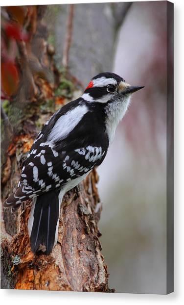 Male Downy Woodpecker Canvas Print