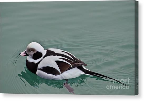 Male Long Tailed Duck In Winter Plumage Canvas Print