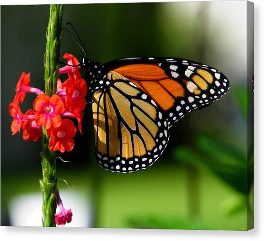 Male Monarch On Red Porterweed Canvas Print by Judy Wanamaker