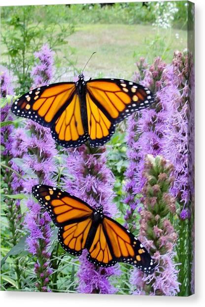 Male Monarchs Canvas Print by Katie Bauer
