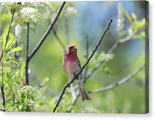 Male Purple Finch Canvas Print