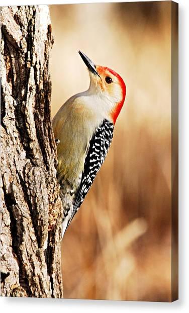 Male Red-bellied Woodpecker 3 Canvas Print