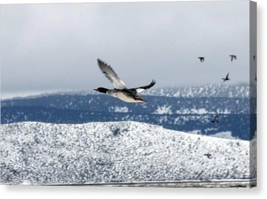 Mallard Duck - 0006 Canvas Print
