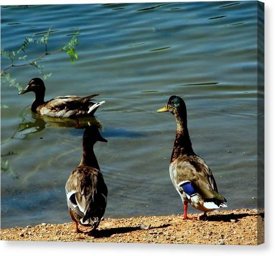 Mallard Ducks Canvas Print by David Killian