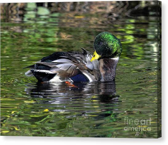 Mallard Preening Hdr Canvas Print by Sharon Talson