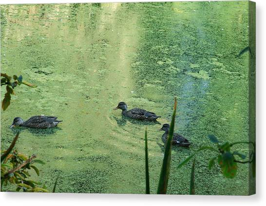 Mallards Feeding Canvas Print